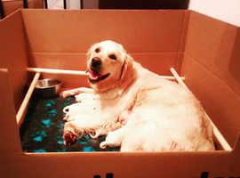 Kc reg golden retriever pups