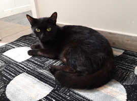 Bombay Cat for sale