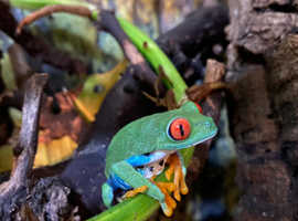 Red eye tree frog babies
