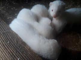 Kitt ferrets for sale.