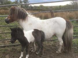 Registered Miniature Shetland Filly Foal