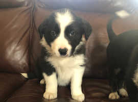 Adorable collie puppies for sale