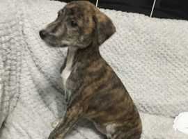 Female saluki greyhound puppy
