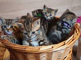 British Shorthair Kittens Ready In 10 Days Exeter