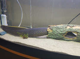 FIRE EEL APPROX 17 INCH NEEDS TO GO GOOD HOME