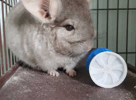 (SOLD PENDING COLLECTION) Beautiful Female chinchilla needing forever home