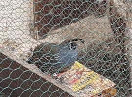 Californian quail