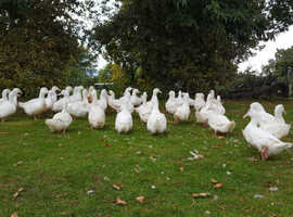 Point of lay cherry Valley ducks available