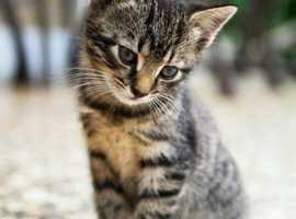 looking for tabby kitten