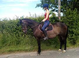 Super Irish sport horse seeks loan home