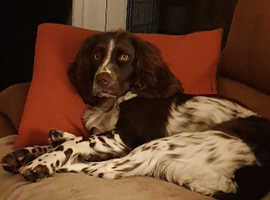 Desperately seeking Susan...We are after a female cocker spaniel for a fur sister for our rosie