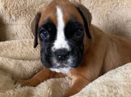 Stunning boxers puppies for sale