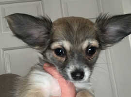 chorkie pup 1 GIRL ONLY REDUCED