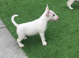 Fantastic boy puppy available