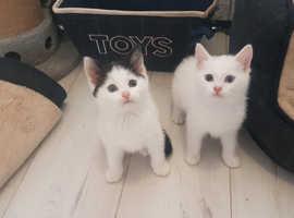 2 Left. Kittens for sale. Mum half Persian