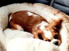 Beautiful mini cavalier king Charles spaniel