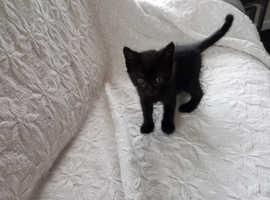 Black kitten
