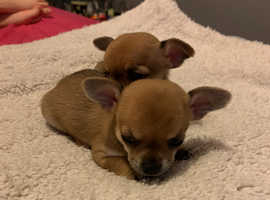 Chihuahua female pups