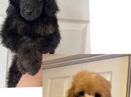 Ready now miniature poodle boys