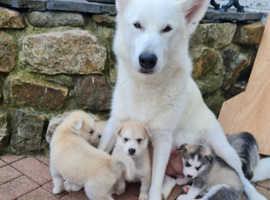 7 huskita puppies ready now