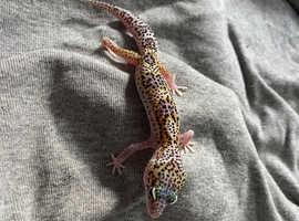 Baby female leopard gecko