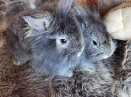 X2 baby lionhead rabbits