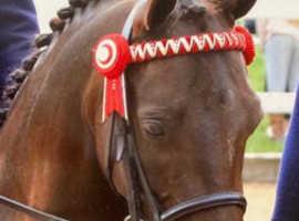 First class leadrein pony