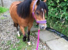 12hh Welsh section A mare for sale