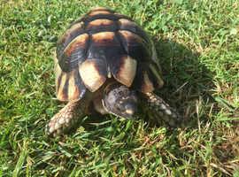 Mature Marginated tortoise