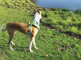 Max the greyhound