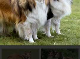 Miniature shetland sheepdog /Sheltie female puppy WANTED