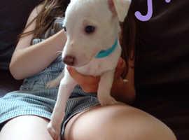 Kc registered Whippet pups