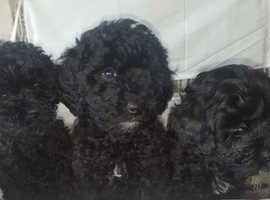 Stunning cavapoo puppies
