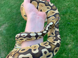 Male Special Pastel Royal Python Proven