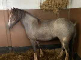 Welsh Part Bred Filly