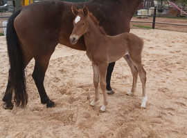 Exceptional Sports Colt