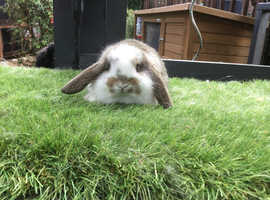 Agouti butterfly German lop baby rabbit- Buck *READY NOW*
