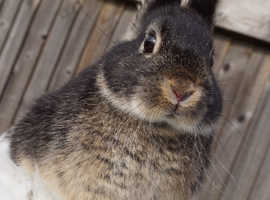 Two pet type Netherland dwarf
