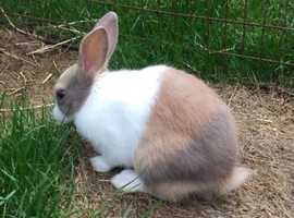 Dutch Baby Rabbit For Sale