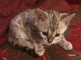 Pure bengal kitten
