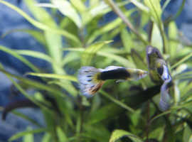 Guppy fry 50p and 75p