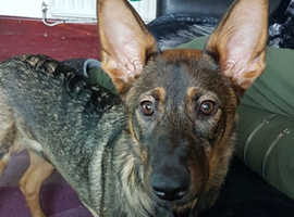 Female german shep x for sale