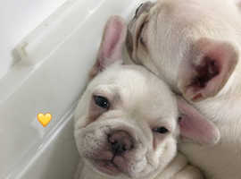 Platinum french bulldog puppies ready for there new forever loving homes