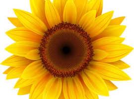 Lowestoft Sunflower Competition 2021