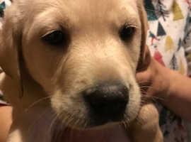 Beautiful Sandy Labrador puppies 1 left