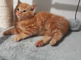 Cute Fluffy Chunky Ginger & Tortie Kittens Ready