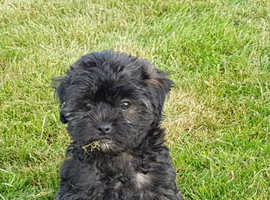 Adorable Pug x Poodle puppies available for sale to good homes.