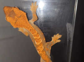 Crested Gecko babys