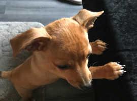 2 little puppy chichura for sale