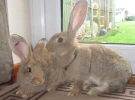 Baby continental giant doe rabbits